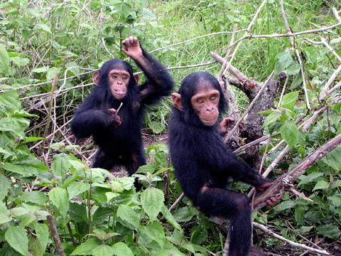 Jeunes chimpanzés du sanctuaire Jane Goodall de Tchimpounga - Wikimedia Commons